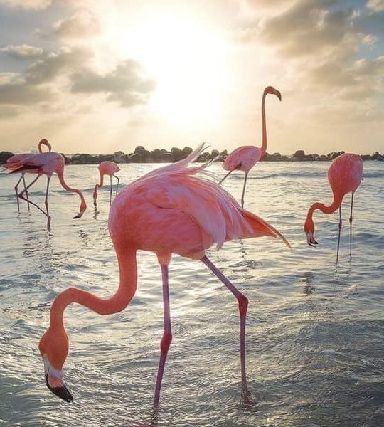 photography flamingo Aruba